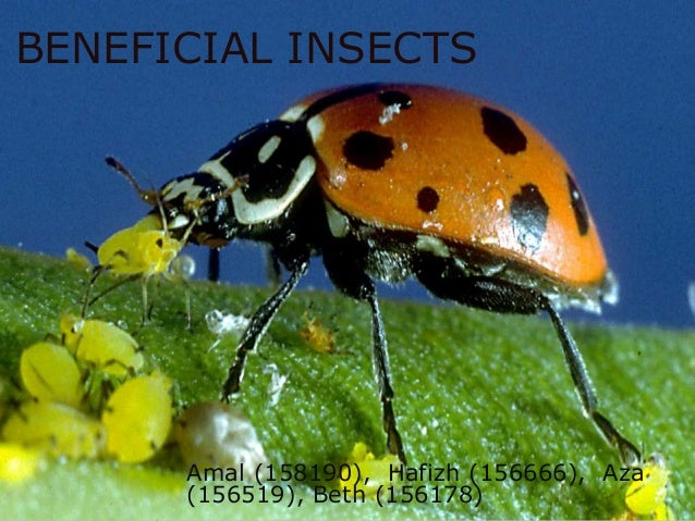 BENEFICIAL INSECTS Amal (158190), Hafizh (156666), Aza (156519), Beth (156178)