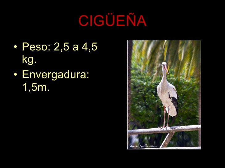 CIGÜEÑA <ul><li>Peso: 2,5 a 4,5 kg. </li></ul><ul><li>Envergadura: 1,5m. </li></ul>