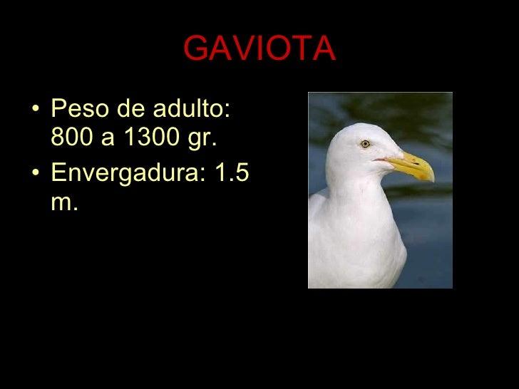GAVIOTA <ul><li>Peso de adulto: 800 a 1300 gr. </li></ul><ul><li>Envergadura: 1.5 m. </li></ul>