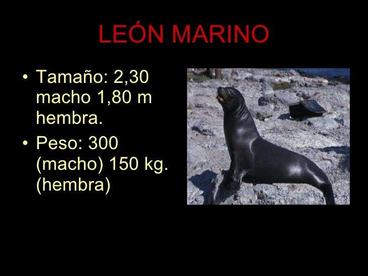 LEÓN MARINO <ul><li>Tamaño: 2,30 macho 1,80 m hembra. </li></ul><ul><li>Peso: 300 (macho) 150 kg. (hembra) </li></ul>
