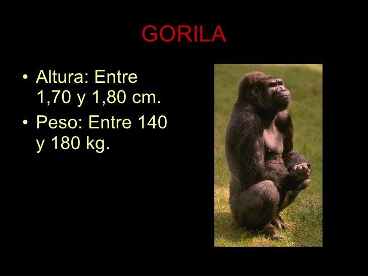 GORILA <ul><li>Altura: Entre 1,70 y 1,80 cm. </li></ul><ul><li>Peso: Entre 140 y 180 kg. </li></ul>