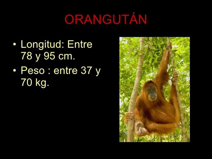 ORANGUTÁN <ul><li>Longitud: Entre 78 y 95 cm. </li></ul><ul><li>Peso : entre 37 y 70 kg.  </li></ul>