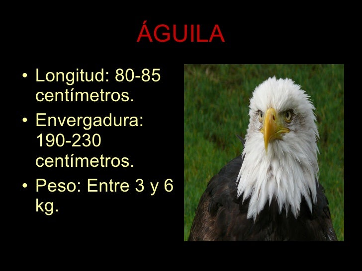 ÁGUILA <ul><li>Longitud: 80-85 centímetros. </li></ul><ul><li>Envergadura: 190-230 centímetros. </li></ul><ul><li>Peso: En...