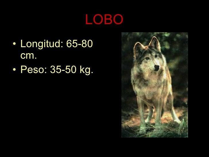 LOBO <ul><li>Longitud: 65-80 cm. </li></ul><ul><li>Peso: 35-50 kg. </li></ul>