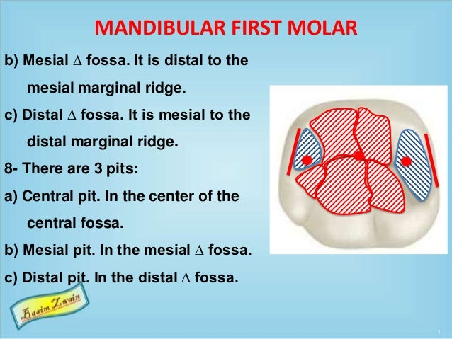 MANDIBULAR FIRST MOLAR b) Mesial ∆ fossa. It is distal to the mesial marginal ridge. c) Distal ∆ fossa. It is mesial to th...