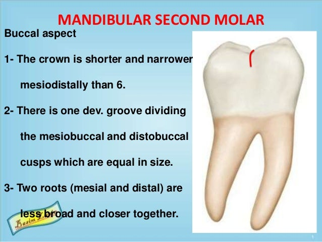 MANDIBULAR SECOND MOLAR Buccal aspect 1- The crown is shorter and narrower mesiodistally than 6. 2- There is one dev. groo...