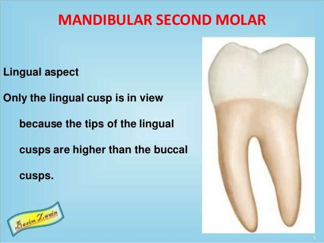 MANDIBULAR SECOND MOLAR Lingual aspect Only the lingual cusp is in view because the tips of the lingual cusps are higher t...