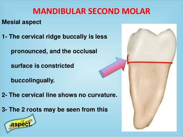 MANDIBULAR SECOND MOLAR Mesial aspect 1- The cervical ridge buccally is less pronounced, and the occlusal surface is const...