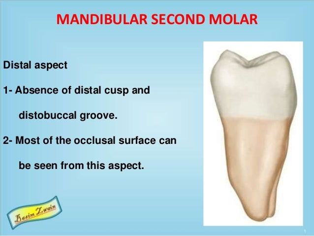 MANDIBULAR SECOND MOLAR Distal aspect 1- Absence of distal cusp and distobuccal groove. 2- Most of the occlusal surface ca...