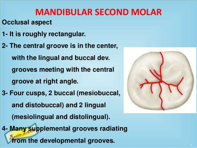 MANDIBULAR SECOND MOLAR Occlusal aspect 1- It is roughly rectangular. 2- The central groove is in the center, with the lin...
