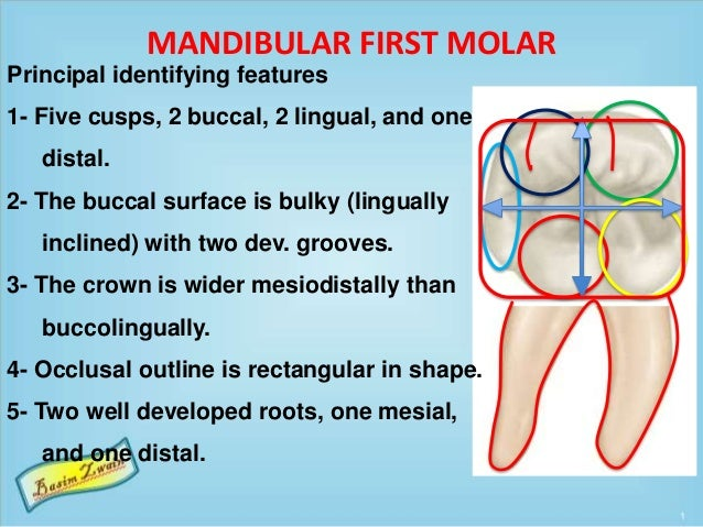 MANDIBULAR FIRST MOLAR Principal identifying features 1- Five cusps, 2 buccal, 2 lingual, and one distal. 2- The buccal su...
