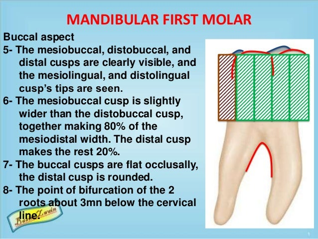 MANDIBULAR FIRST MOLAR Buccal aspect 5- The mesiobuccal, distobuccal, and distal cusps are clearly visible, and the mesiol...