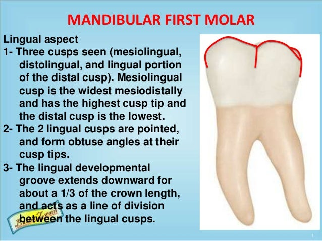 MANDIBULAR FIRST MOLAR Lingual aspect 1- Three cusps seen (mesiolingual, distolingual, and lingual portion of the distal c...