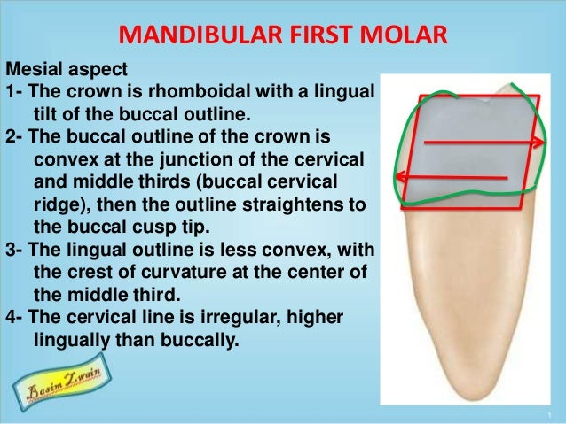 MANDIBULAR FIRST MOLAR Mesial aspect 1- The crown is rhomboidal with a lingual tilt of the buccal outline. 2- The buccal o...