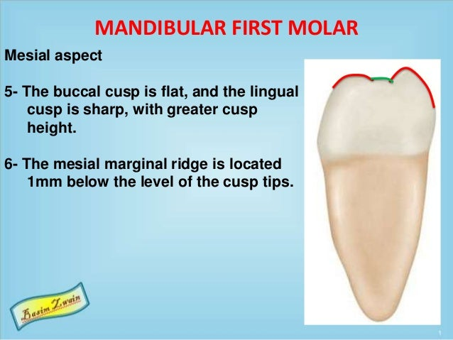 MANDIBULAR FIRST MOLAR Mesial aspect 5- The buccal cusp is flat, and the lingual cusp is sharp, with greater cusp height. ...