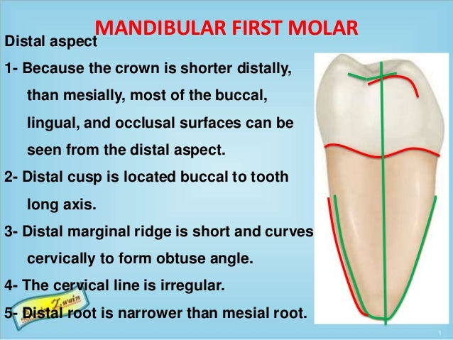 MANDIBULAR FIRST MOLAR Distal aspect 1- Because the crown is shorter distally, than mesially, most of the buccal, lingual,...