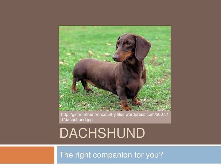 Dachshund<br />The right companion for you?<br />http://girlfromthenorthcountry.files.wordpress.com/2007/11/dachshund.jpg<...