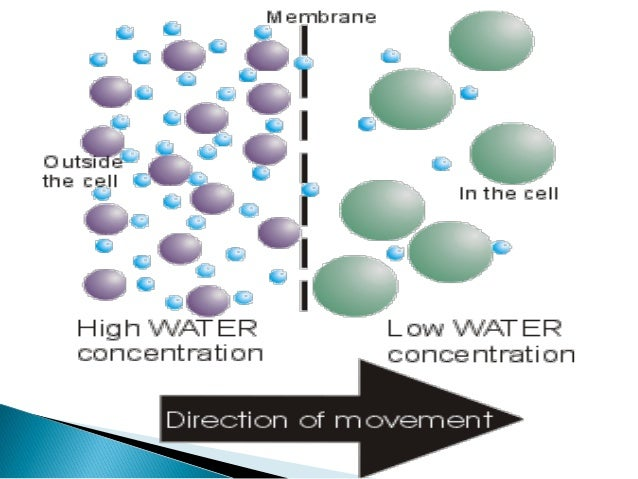osmosis is the spontaneous net movement of solvent molecules through a semi permeable membrane into  Osmosis is the spontaneous net movement of solvent molecules through a semi-permeable membrane into a region of higher solute concentration, in the direction that tends to equalize the.
