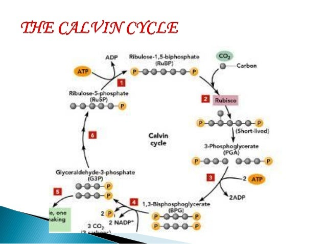 Powerpoint presentation on topic photosynthesis pineapple 12 dark reactions make use of ccuart Image collections