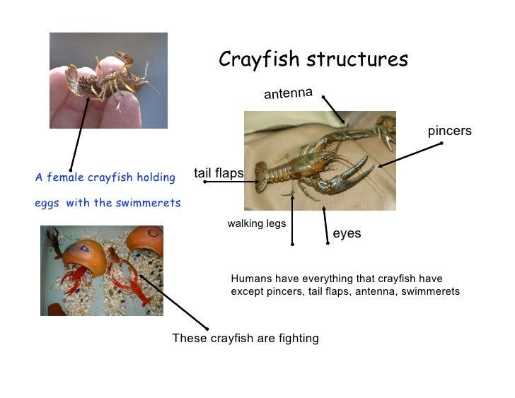 Crayfish structures                                          antenna                                                      ...
