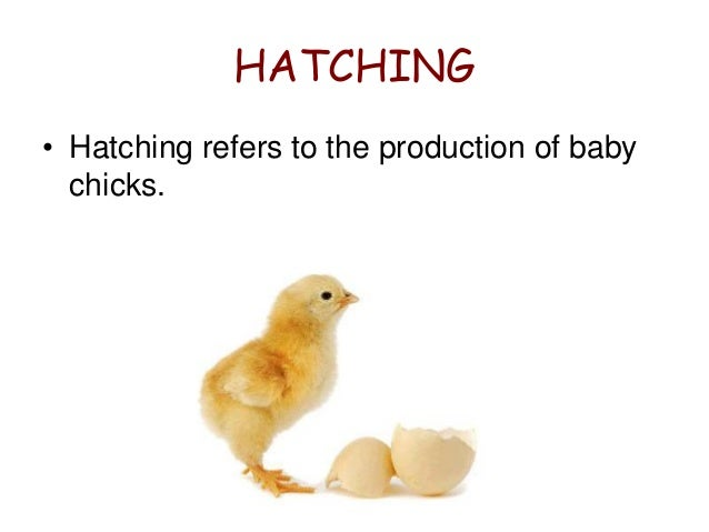 factors affecting eggs hatchability Breeder factors that affect hatchability include strain, health, nutrition and age of the flock, egg size, weight and quality, egg storage duration and conditions the optimum temperature range for poultry is 12-26°c.