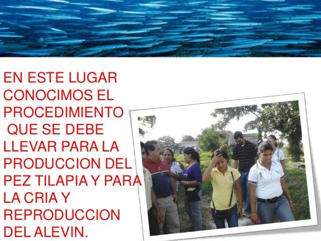 Cr a y reproducci n de la mojarra tilapia for Mojarra tilapia criadero