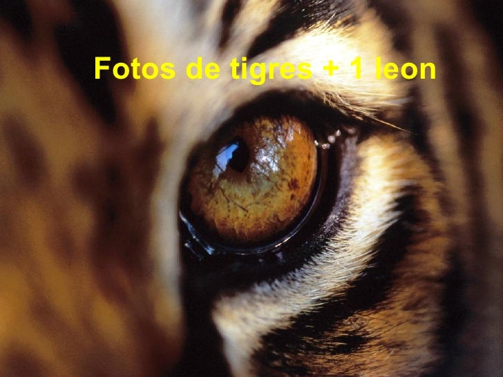 Fotos de tigres + 1 leon