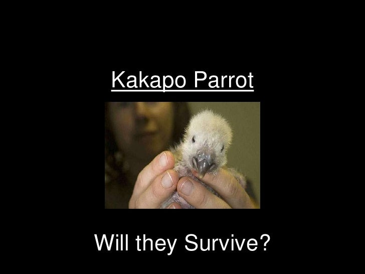 Kakapo ParrotWill they Survive?