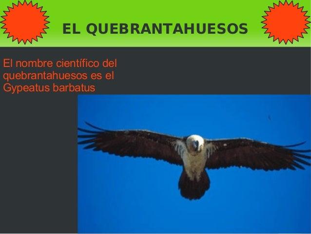 EL QUEBRANTAHUESOS El nombre científico del quebrantahuesos es el Gypeatus barbatus