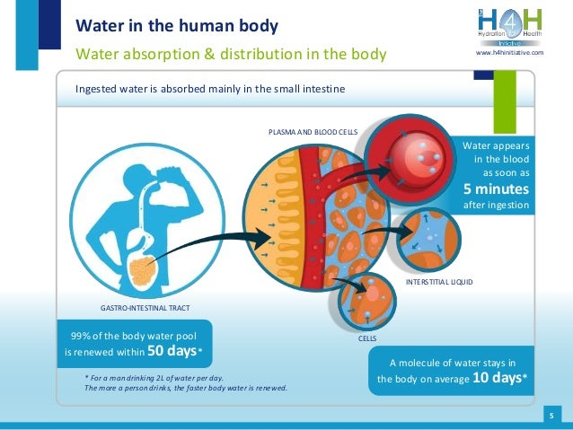 Water appears in the blood as soon as 5 minutes after ingestion Water in the human body Water absorption & distribution in...