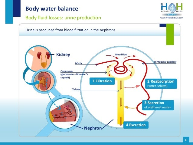 Body water balance Body fluid losses: urine production Urine is produced from blood filtration in the nephrons 8 Kidney 1 ...