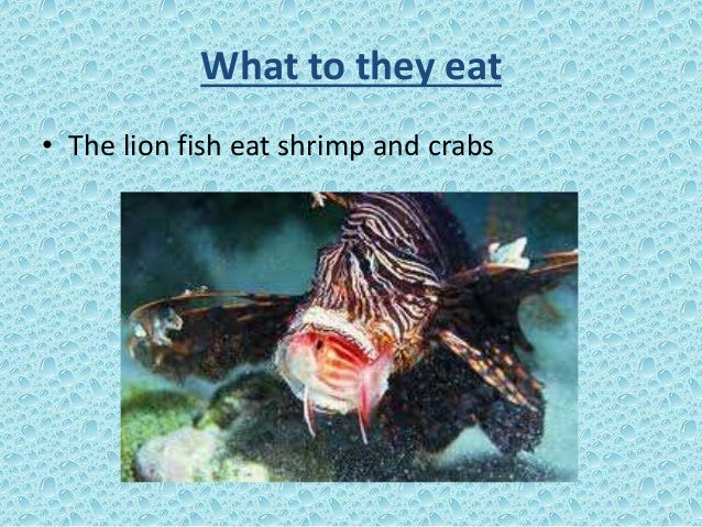 Lion fish esl primary school presentation for What do fish eat