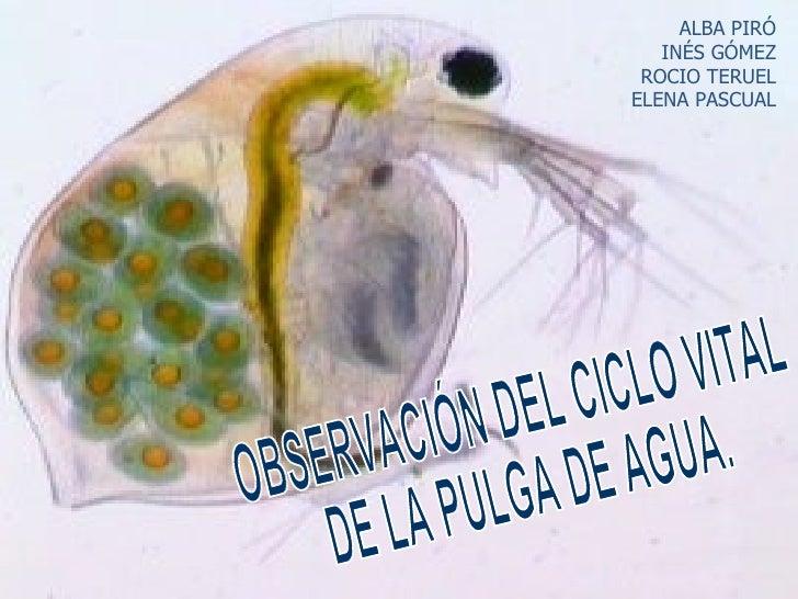 OBSERVACIÓN DEL CICLO VITAL DE LA PULGA DE AGUA. ALBA PIRÓ INÉS GÓMEZ ROCIO TERUEL ELENA PASCUAL