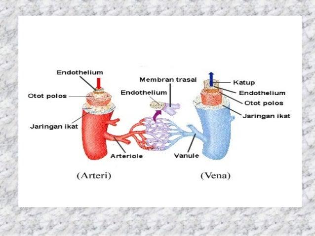 #16 – Sistem Peredaran Darah