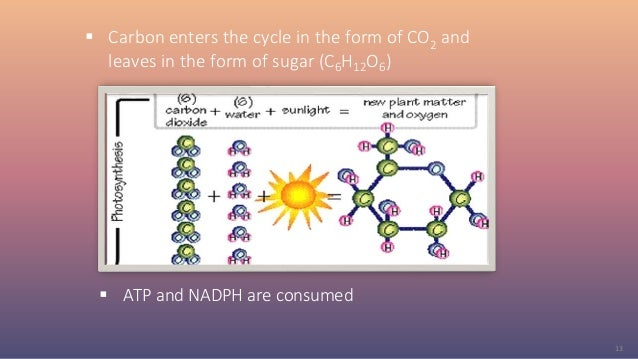  Carbon enters the cycle in the form of CO2 and leaves in the form of sugar (C6H12O6)  ATP and NADPH are consumed 13