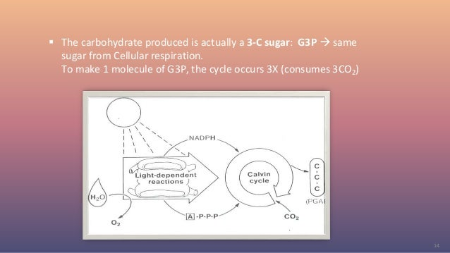  The carbohydrate produced is actually a 3-C sugar: G3P  same sugar from Cellular respiration. To make 1 molecule of G3P...