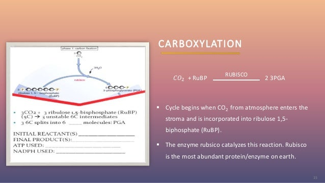 CARBOXYLATION 𝐶𝑂2 + RuBP 2 3PGA  Cycle begins when CO2 from atmosphere enters the stroma and is incorporated into ribulos...