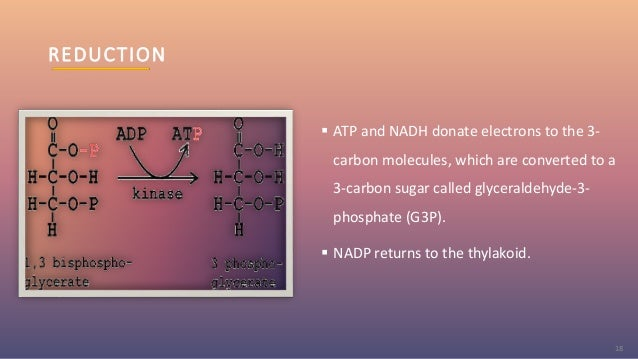 REDUCTION  ATP and NADH donate electrons to the 3- carbon molecules, which are converted to a 3-carbon sugar called glyce...