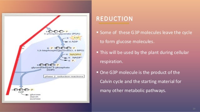 REDUCTION  Some of these G3P molecules leave the cycle to form glucose molecules.  This will be used by the plant during...