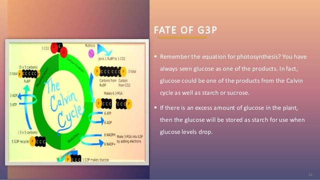 FATE OF G3P  Remember the equation for photosynthesis? You have always seen glucose as one of the products. In fact, gluc...