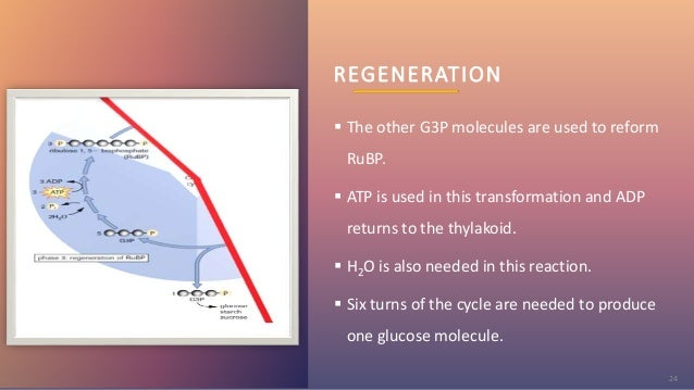 REGENERATION  The other G3P molecules are used to reform RuBP.  ATP is used in this transformation and ADP returns to th...