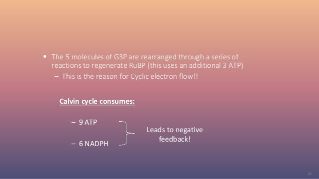 25  The 5 molecules of G3P are rearranged through a series of reactions to regenerate RuBP (this uses an additional 3 ATP...