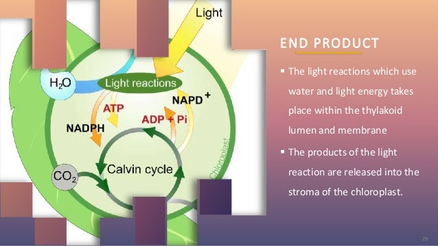 END PRODUCT  The light reactions which use water and light energy takes place within the thylakoid lumen and membrane  T...