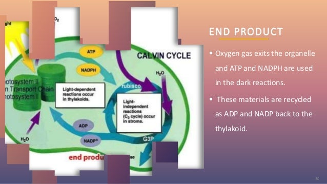 END PRODUCT  Oxygen gas exits the organelle and ATP and NADPH are used in the dark reactions.  These materials are recyc...