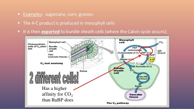  Examples: sugarcane, corn, grasses  The 4-C product is produced in mesophyll cells  It is then exported to bundle shea...