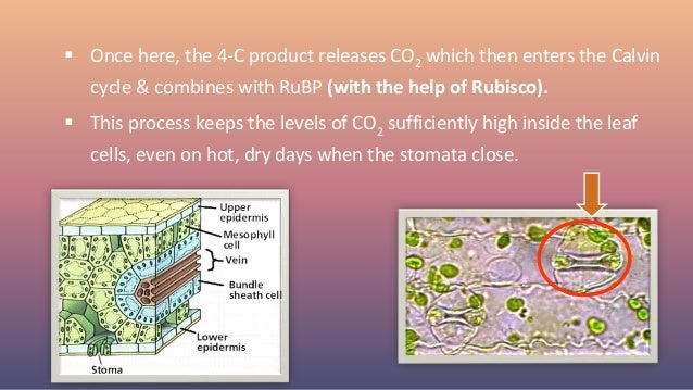  Once here, the 4-C product releases CO2 which then enters the Calvin cycle & combines with RuBP (with the help of Rubisc...