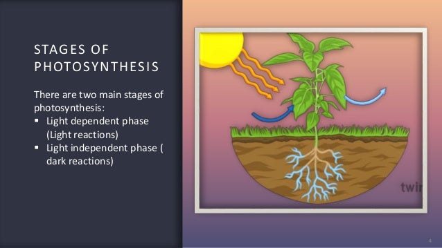 STAGES OF PHOTOSYNTHESIS 4 There are two main stages of photosynthesis:  Light dependent phase (Light reactions)  Light ...