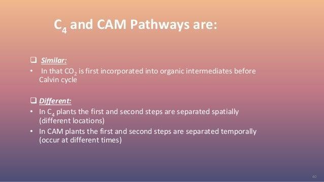 40 C4 and CAM Pathways are:  Similar: • In that CO2 is first incorporated into organic intermediates before Calvin cycle ...