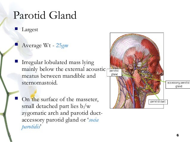 The Anatomy Of Parotid Gland Diagram - All Kind Of Wiring Diagrams •
