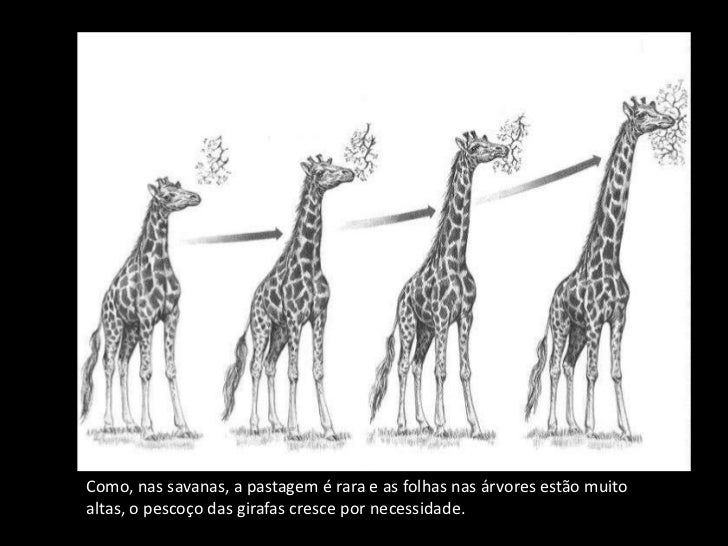 LEI DO USO E DESUSO               LEI DA HERANÇA DOS CARACTERES ADQUIRIDOSComo, nas savanas, a pastagem é rara e as folhas...